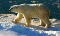Quần thể gấu Bắc cực phát triển mạnh bất chấp biến đổi khí hậu