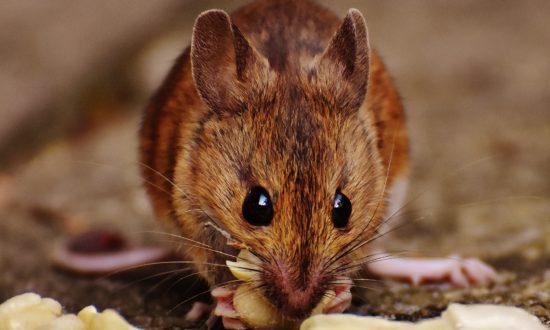 Nhiều người nói rằng thuốc chuột có sẵn, đây là một cách, nhưng bạn không muốn làm hại cuộc sống của mình nhỡ sơ sẩy nhầm lẫn.