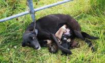 Chó mẹ bị xích ở hàng rào nhưng vẫn cố gắng nuôi 6 chó con