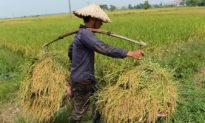 Lo thiếu lương thực, Việt Nam dừng xuất khẩu gạo