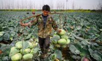 Nông dân Trung Quốc lo sợ thiếu lương thực sau đại dịch