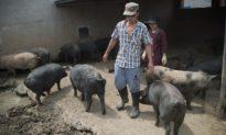 Trung Quốc cho phép nông dân cầm cố lợn để vay thế chấp nhằm tăng sản lượng thịt