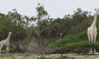 Hai con hươu cao cổ trắng quý hiếm bị giết bởi những kẻ săn trộm ở Kenya