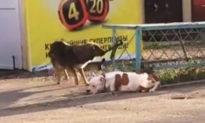 Tính nhân văn của loài chó: Cứu bạn khi ngỡ bạn gặp hoạn nạn