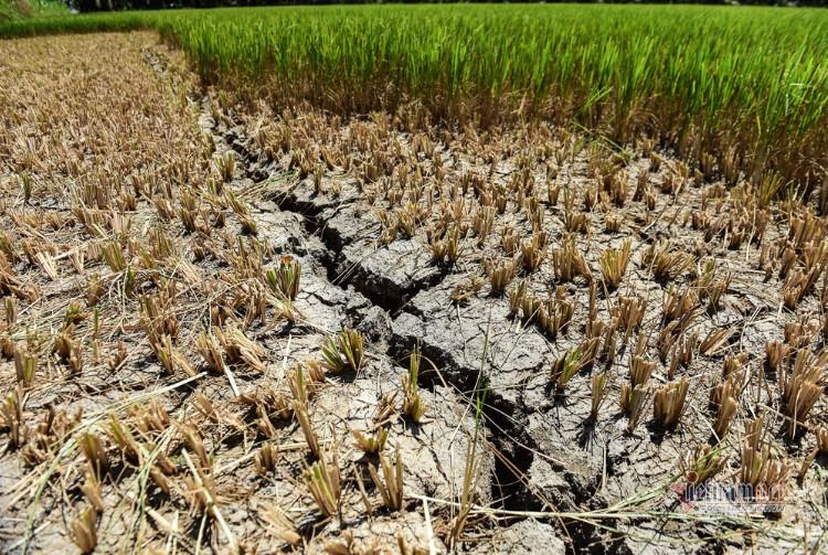 Hạn mặn khốc liệt ở miền Tây để lại nhiều thiệt hại về lâu dài khó có thể khắc phục: ruộng lúa phải cắt bỏ, đất nhiễm mặn khó có thể thanh lọc hết. (Ảnh từ Vietnamnet)