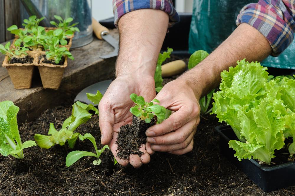 Bạn có thể trồng rau tại nhà ở vườn hoặc trong các hộp xốp (nếu ở chung cư) để có thêm rau xanh trong trường hợp bệnh dịch kéo dài