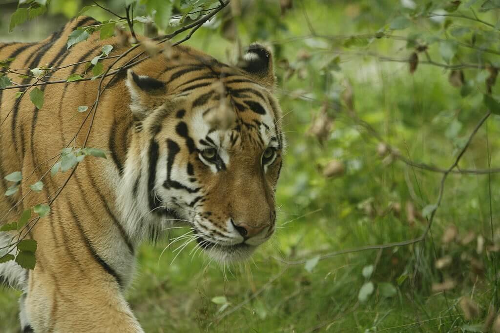 Con hổ đầu tiên xét nghiệm dương tính với virus Corona Vũ Hán