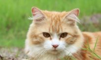 Nghiên cứu: Virus SARS-CoV-2 có thể lây truyền từ mèo sang mèo