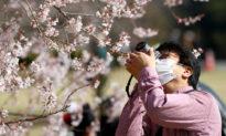Đón xuân thời dịch viêm phổi Vũ Hán: Hoa anh đào rực nở, xua tan nỗi lo virus
