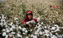 Vương quốc Anh kêu gọi ngừng nhập khẩu bông có nguồn gốc từ các 'trại giam' Trung Quốc