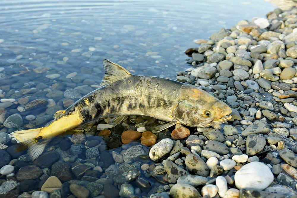 Cá hồi chó là con cá tượng trưng cho tình mẹ! (Ảnh: Shutterstock)