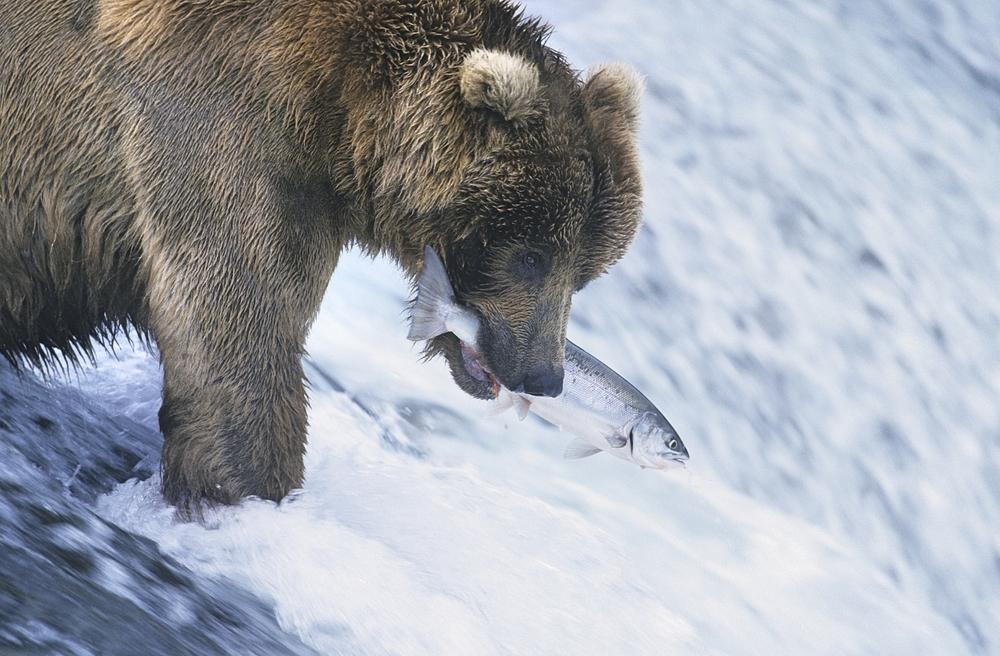 Cá hồi là loài cá tượng trưng cho tình yêu quê hương xứ sở. (Ảnh: Shutterstock)