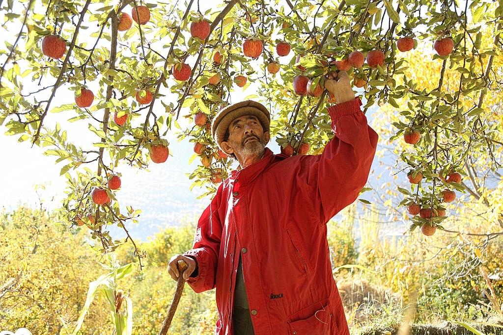 Người Hunzas rất ít khi ăn thịt, họ chủ yếu ăn các loại rau xanh và trái cây (chủ yếu là dâu và hạnh nhân). Ảnh: Người đàn ông đang chăm sóc vườn cây táo. (Nguồn: Wikimedia Commons)