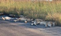 Dịch bệnh đến, sư tử có dịp nghỉ ngơi và 'phơi nắng' trên đường