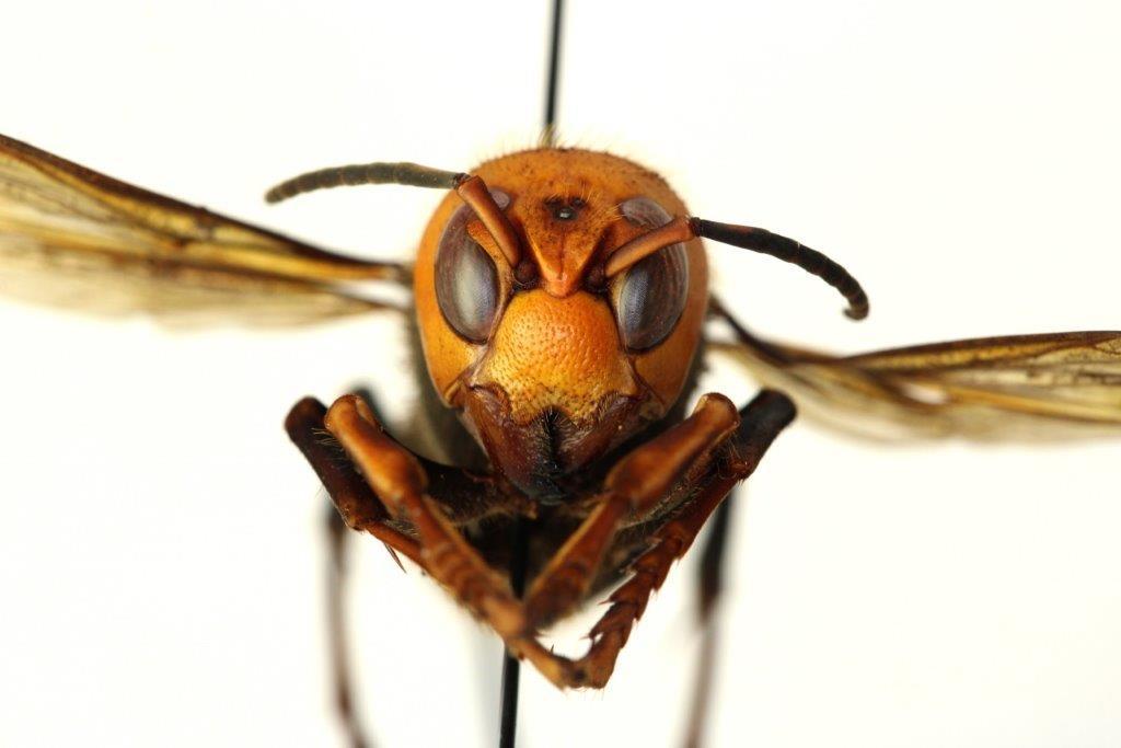 'Ong bắp cày sát thủ', mối lo ngại mới tại Hoa Kỳ?