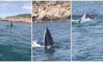 Bất ngờ thấy cá voi lưng gù nhảy múa săn mồi ở vịnh Cam Ranh