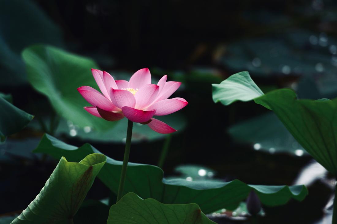 Đĩnh Chi coi mình giống như sen, dù có phải ở vào hoàn cảnh ô trọc thế nào thì cũng vẫn giữ khí tiết thanh cao
