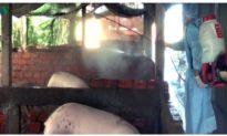 Bạc Liêu phát hiện 2 ổ dịch tả lợn châu Phi sau gần 4 tháng công bố hết dịch