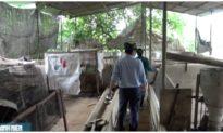 Dịch tả lợn châu Phi tái phát, một hộ chăn nuôi ở Vĩnh Long tiêu hủy 43 con