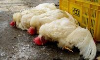 400.000 con gà và đà điểu bị tiêu hủy do dịch cúm gia cầm lây lan ở Úc