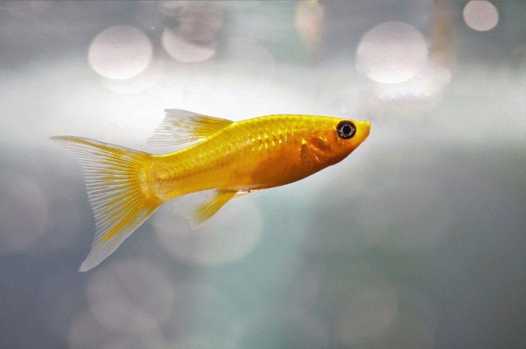 Một hôm cô bé gọi điện về nhà, tôi xấu hổ nói với con gái rằng con cá vàng cũng đã chết.