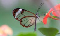 Ngỡ ngàng với loài bướm có đôi cánh trong suốt