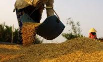 Giá gạo Việt Nam vượt Thái Lan, xuất khẩu gạo đạt đến 1,9 tỷ USD trong 8 tháng đầu năm