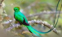 Nuốc nữ hoàng (Chim đuôi seo): một trong những loài chim đẹp nhất thế giới