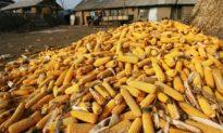 Chỉ đáp ứng được 1/2 hạn ngạch dự trữ ngũ cốc, địa phương Trung Quốc quan ngại về thiếu hụt lương thực