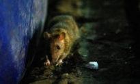 Trung Quốc: Sau Nội Mông, tỉnh Vân Nam cũng xuất hiện dịch hạch