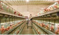 Ban hành công điện khẩn về phòng, chống dịch cúm gia cầm H5N6