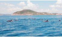 Đàn cá heo trên 200 con 'nhảy múa' trước mũi tàu du khách tham quan vùng biển Phú Yên