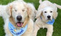 Cảm động chú chó mù được giúp đỡ bởi 'người bạn' đồng hành tí hon
