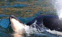 Cảm động tình mẫu tử: Cá voi sát thủ ôm xác con đi khắp đại dương trong suốt 17 ngày