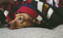 Sau hành trình di chuyển vất vả 136 ngày, một chú chó nhỏ đã được đoàn tụ với chủ của mình