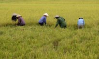 Giá lúa gạo hôm nay bao nhiêu? Dự báo thị trường gạo xuất khẩu