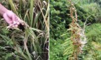 Trung Quốc: Nông dân lao đao vì lũ lụt gây mất mùa cả hai vụ lúa