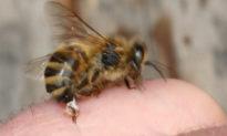 Nọc của ong mật có thể tiêu diệt tế bào ung thư ác tính trong vòng 60 phút