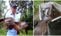 Người dân Hậu Giang bắt được cá trê to lạ, dài hơn 1 mét khi đang bơm nước ngoài ruộng