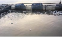 Hơn 40 tấn cá lồng ở Phú Thọ nổi trắng sau khi thủy điện Hòa Bình xả lũ, thiệt hại trên 3 tỷ đồng