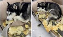Video vẻ mặt tội lỗi cực 'cool' của chó husky: Giận làm sao được!