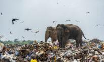 Hình ảnh đau lòng: Những chú voi Sri Lanka đang kiếm ăn trong bãi rác