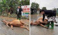 Hình ảnh người phụ nữ bật khóc khi hai con bò bị lũ dìm chết