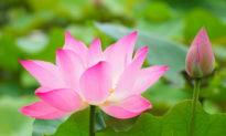 Tâm như đóa hoa sen thì cuộc đời mới ngan ngát hương thơm
