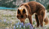 Chó Siberian Husky nâu quý hiếm với đôi mắt xanh thường bị nhầm là ... chó sói