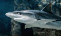 Gần 500.000 con cá mập có thể bị giết để điều chế vaccine COVID-19