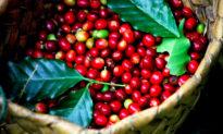 Bảng giá cà phê hôm nay và dự báo giá cà phê Tây Nguyên, Đắk Lắk