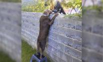 Cực cool: Chú chó trèo lên ghế, ngó đầu qua tường rào để 'chào hỏi' hàng xóm