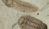 Bọ ba thuỳ: loài sinh vật đã sống cách đây 252 triệu năm