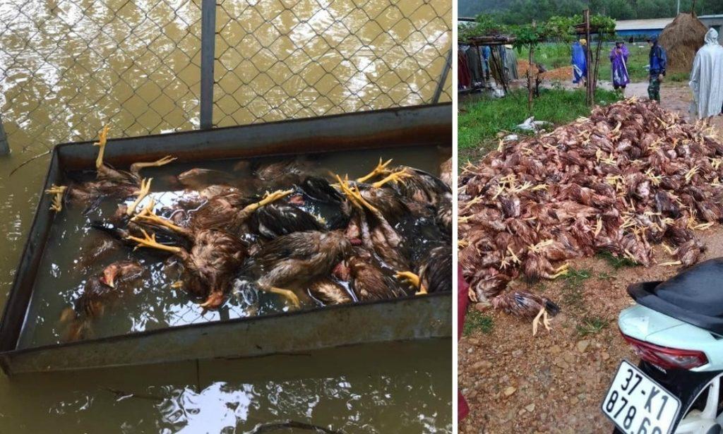 Xót xa 10.000 con gà chết thảm thành đống chỉ sau 1 đêm lũ dữ